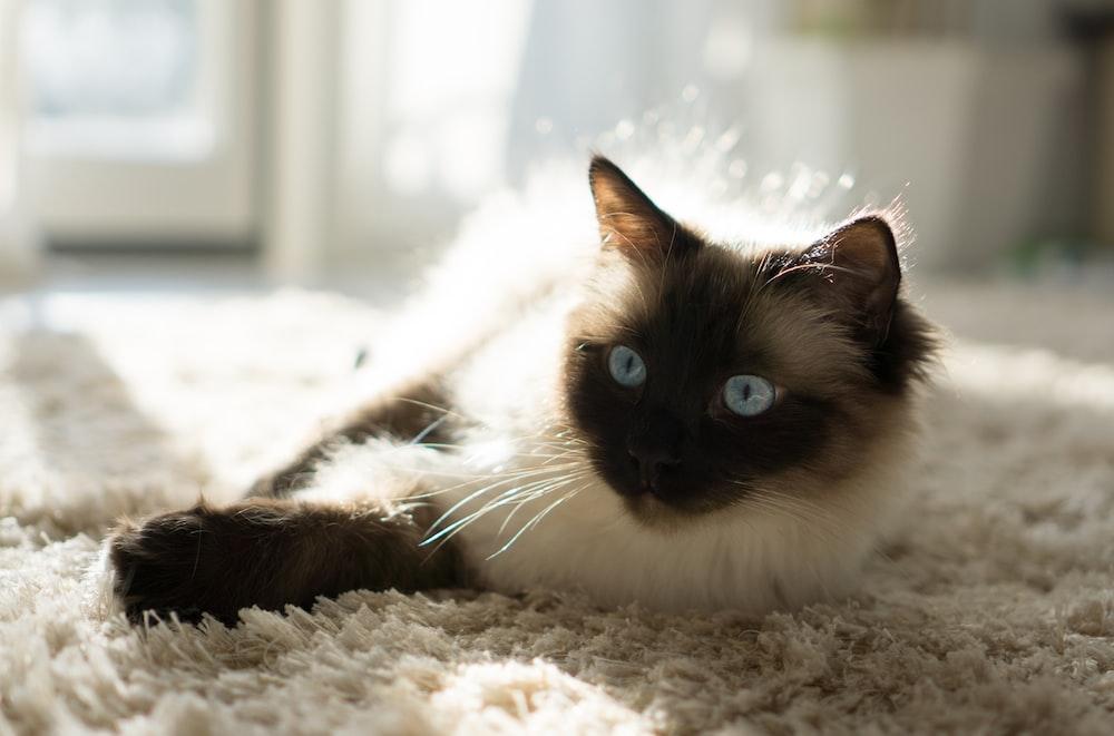 Himalayan cat lying on fleece