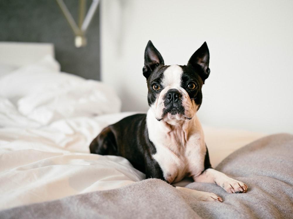 short-coated white and black dog lying on bed