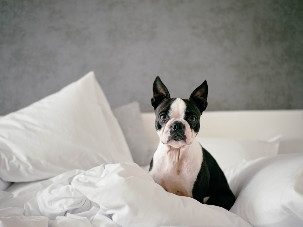 white and black bulldog on bed