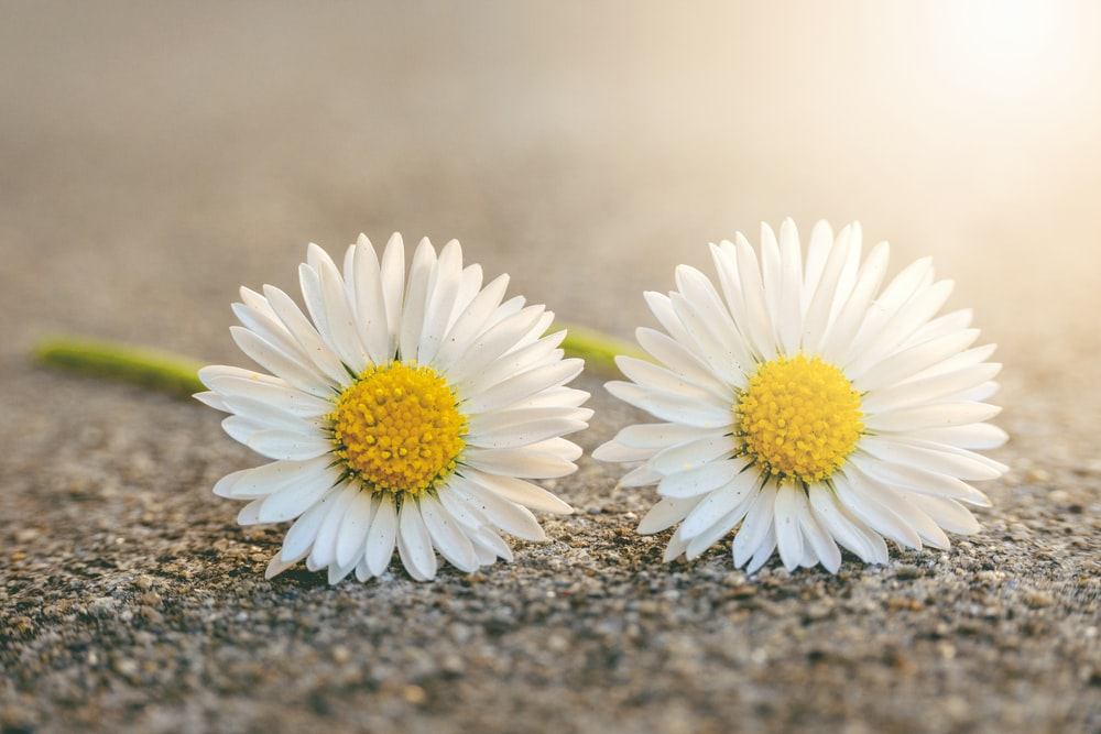 two daisy flowers