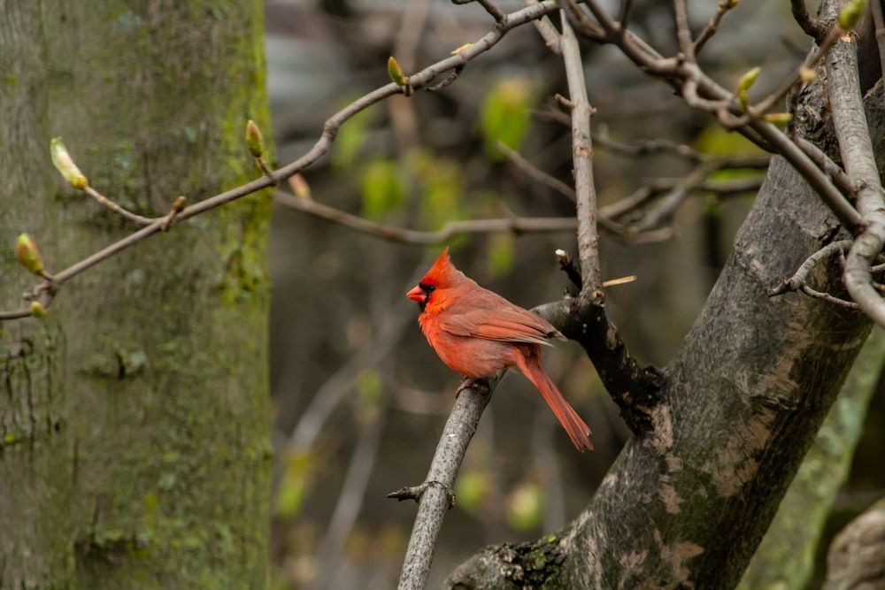 Northern Cardinal perching on tree brand during daytime