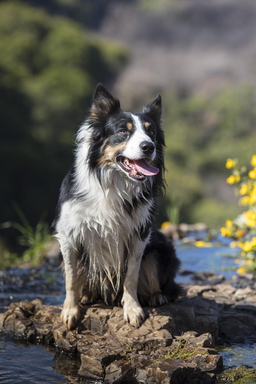 adult long-coated white and black dog