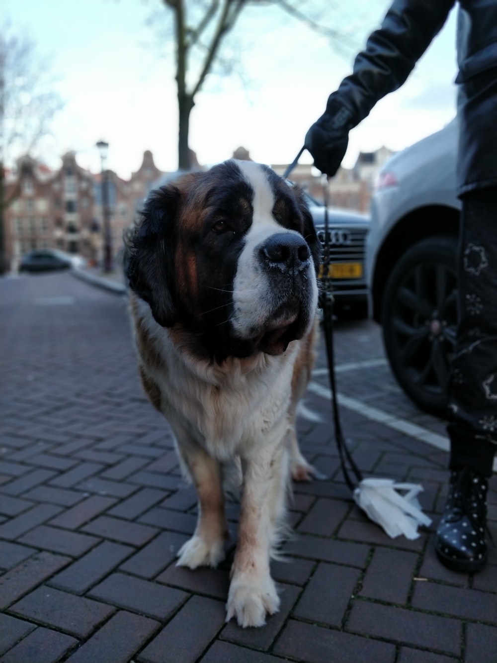 adult white and brown St. Bernard