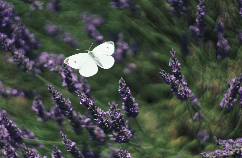 white butterfly hovering above purple-petaled flowers