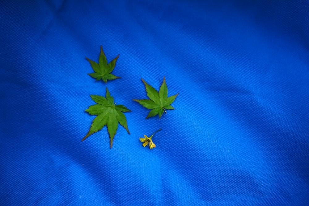green cannabis leaves