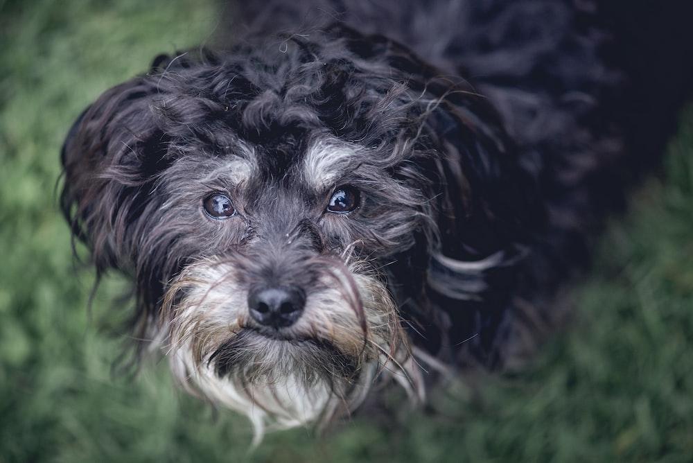 black double-coated dog