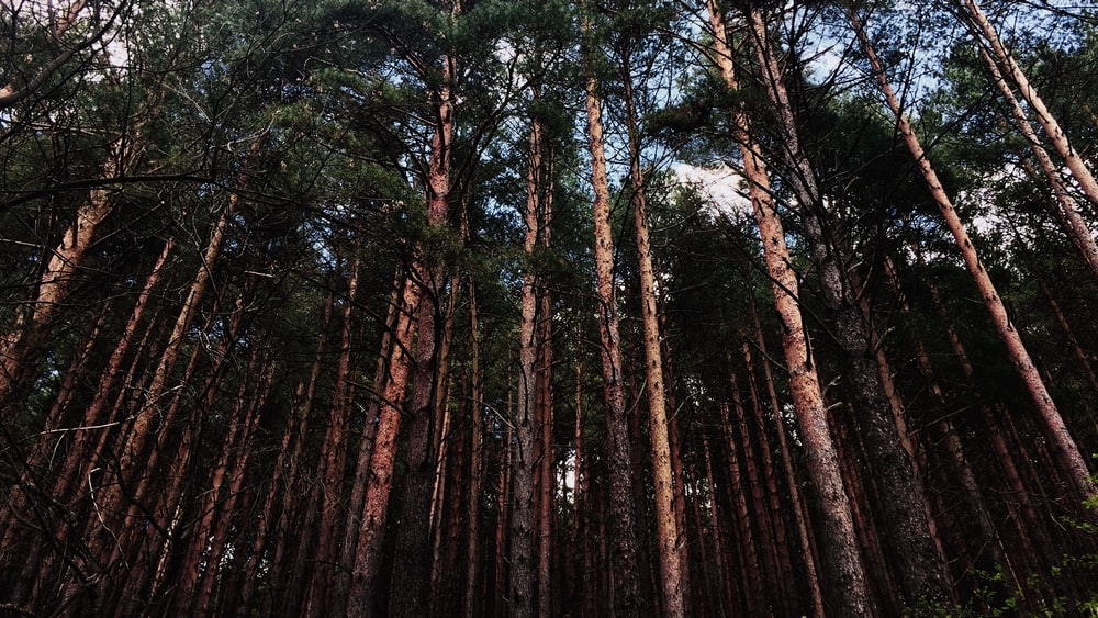 low-angle photography of tall trees