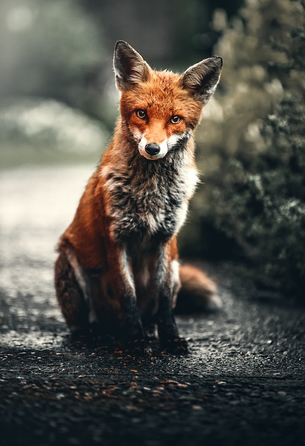 orange and silver fox