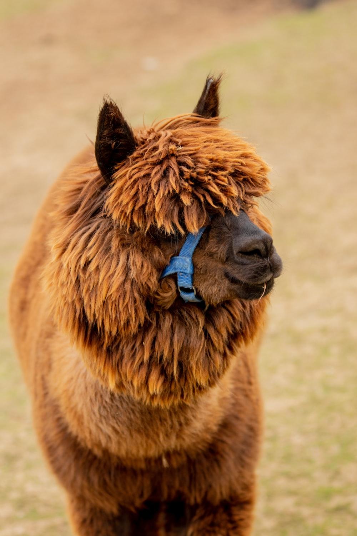 brown alpaca on field