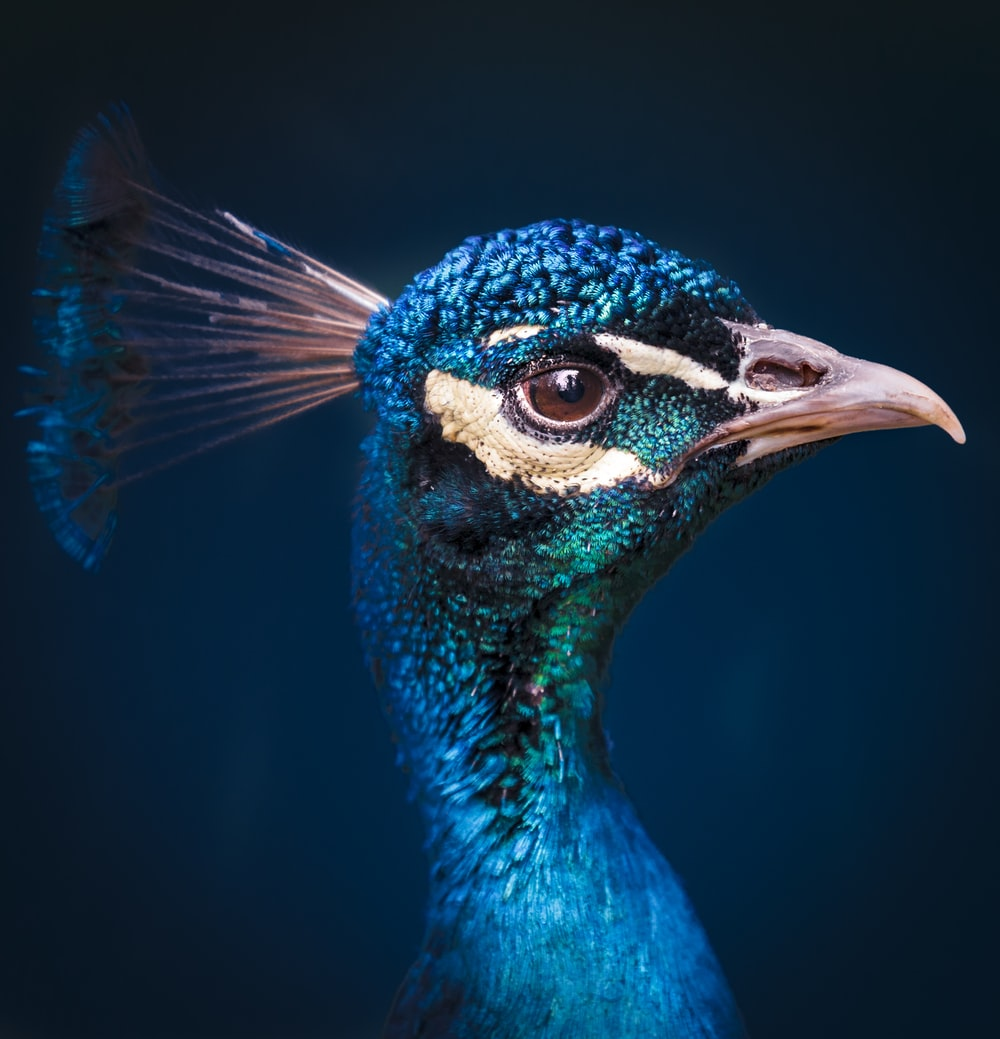 selective focus photography of peacock