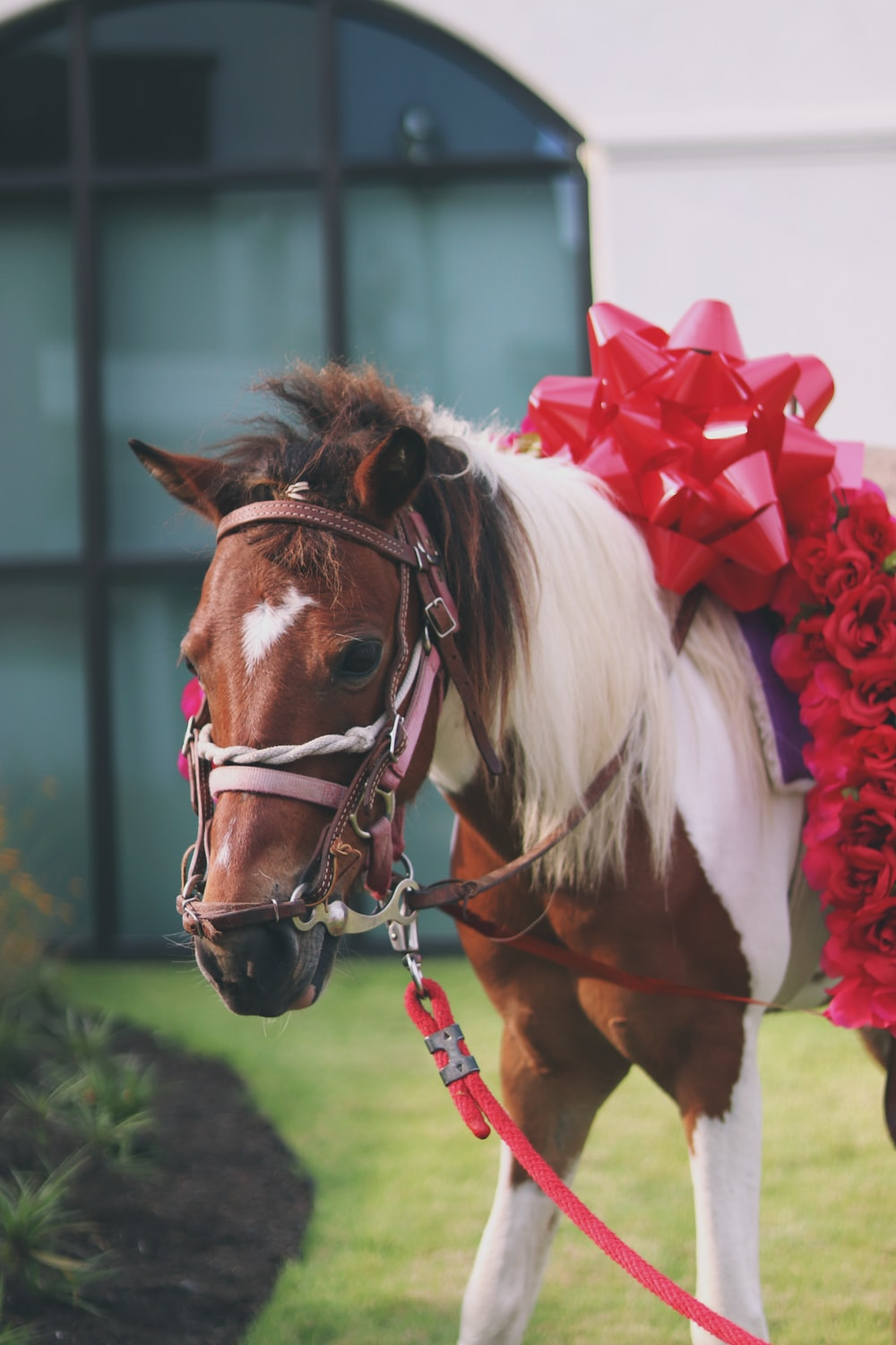 brown and white stallion horse with red ribbon
