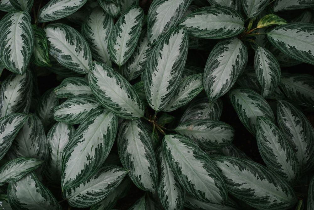 green dumb cane plants