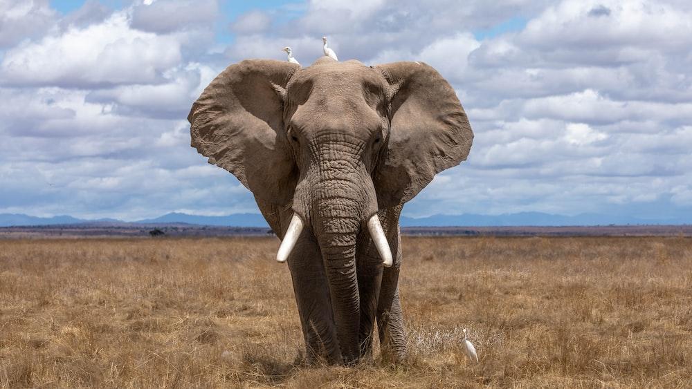 elephant walking during daytime