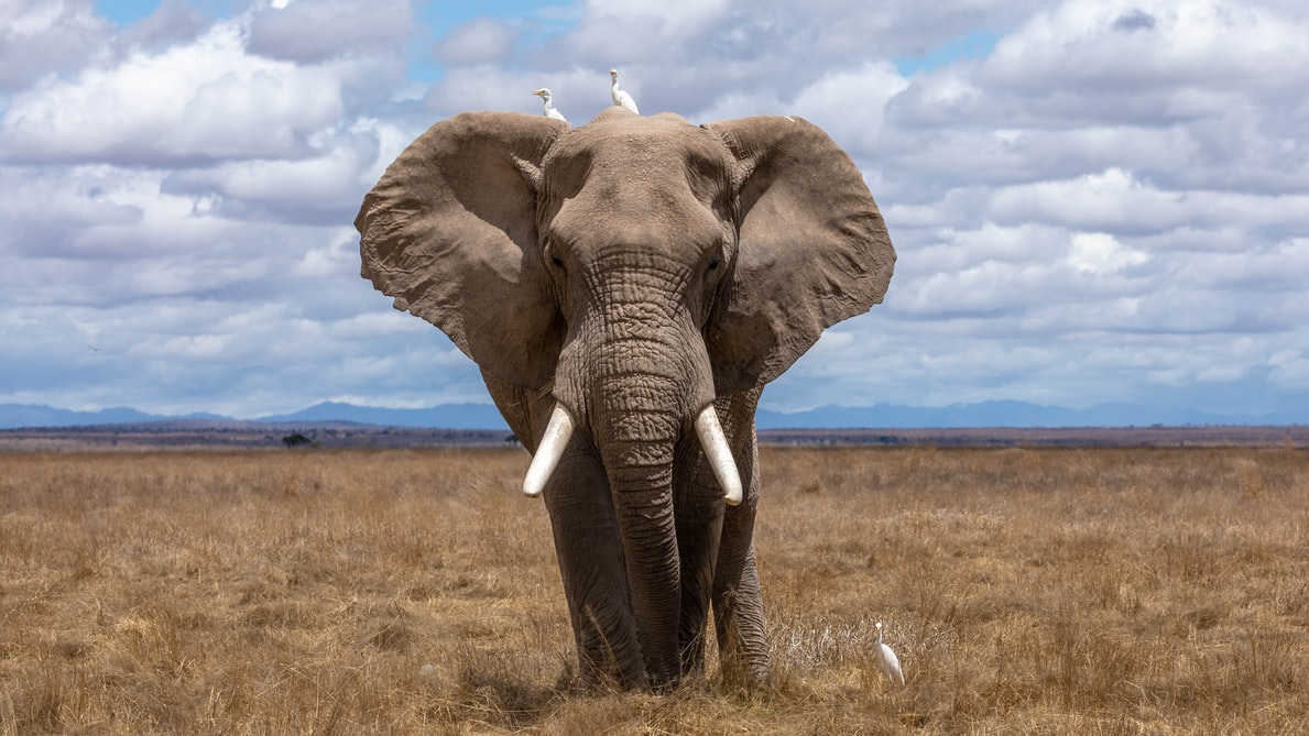 A male elephant can use his penis as the fifth leg to support his body weight.