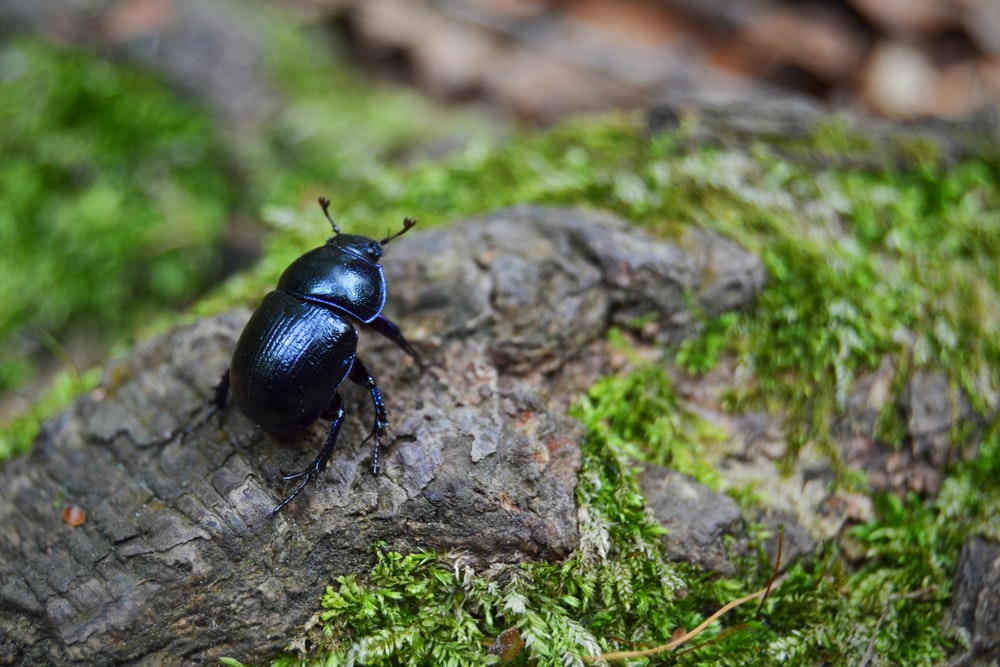 black june beetle on gray stone close-up photography