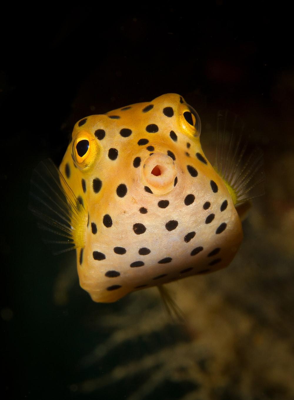leopard puffer fish