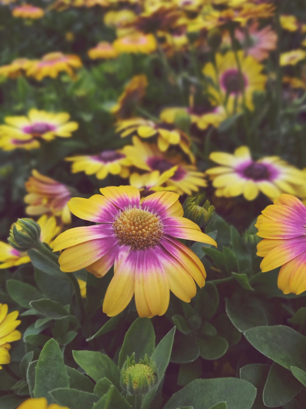 yellow and purple-petaled flower