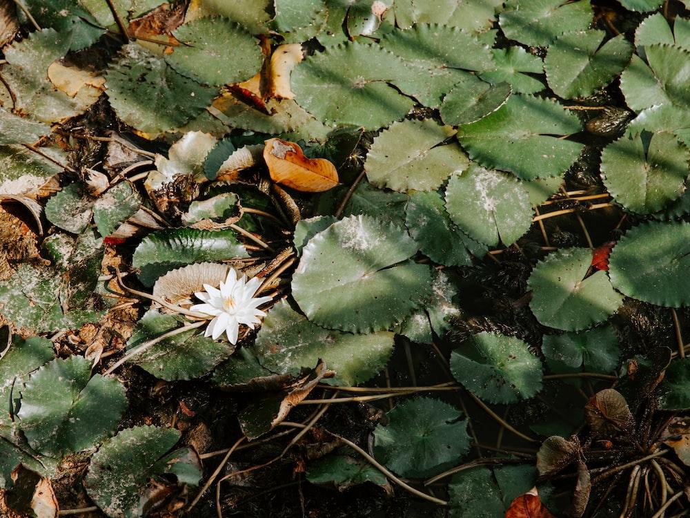 green water lilies