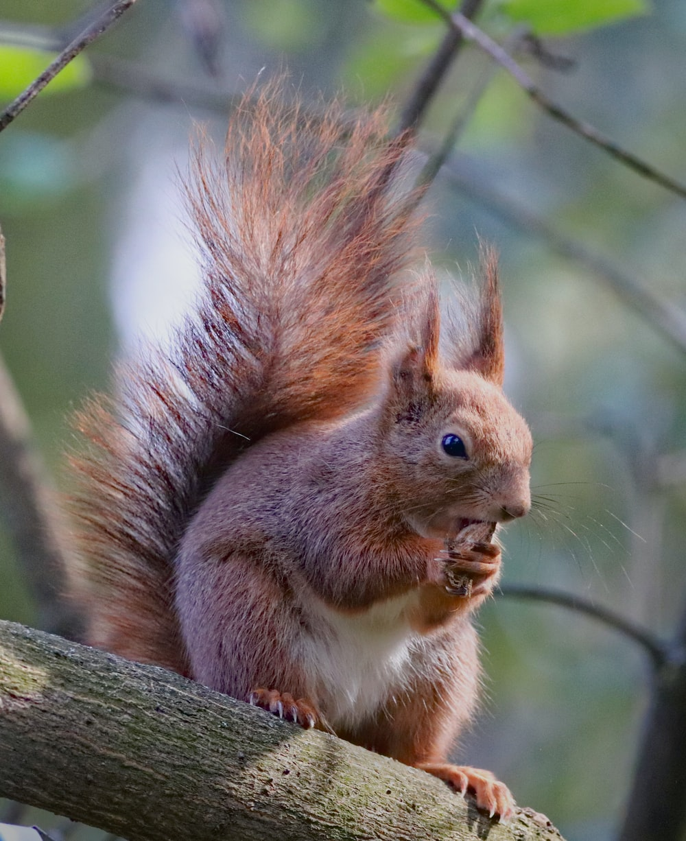 brown squirrel on tree eating nut