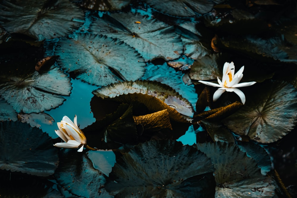 white-petaled plants on water