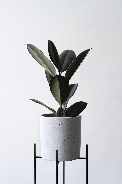 green leaf plant in white flower pot