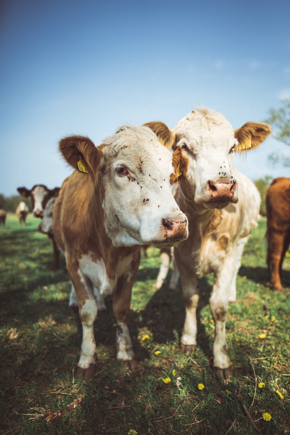 close-up photo of brown and white cattle
