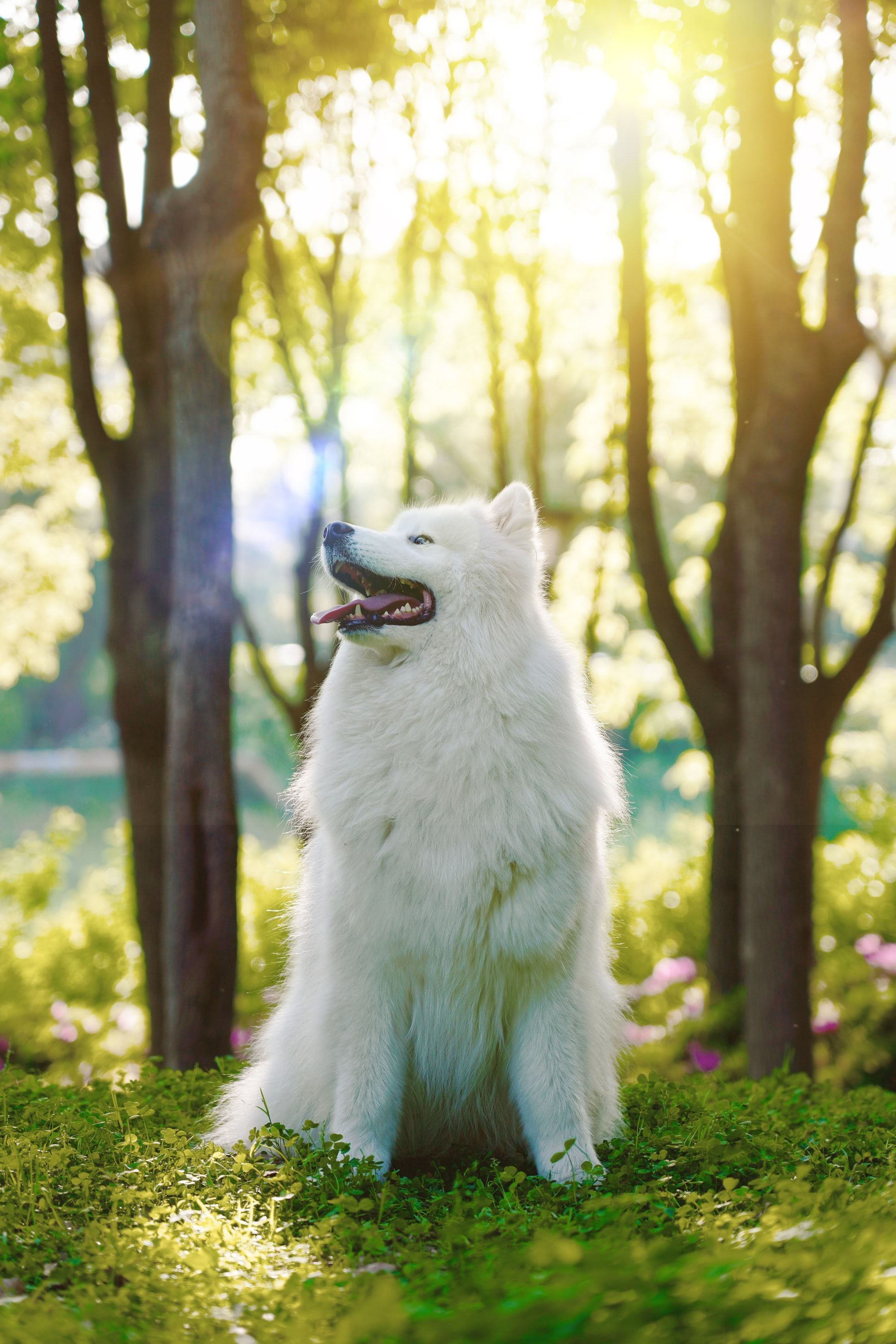 samoyed dog in a forest
