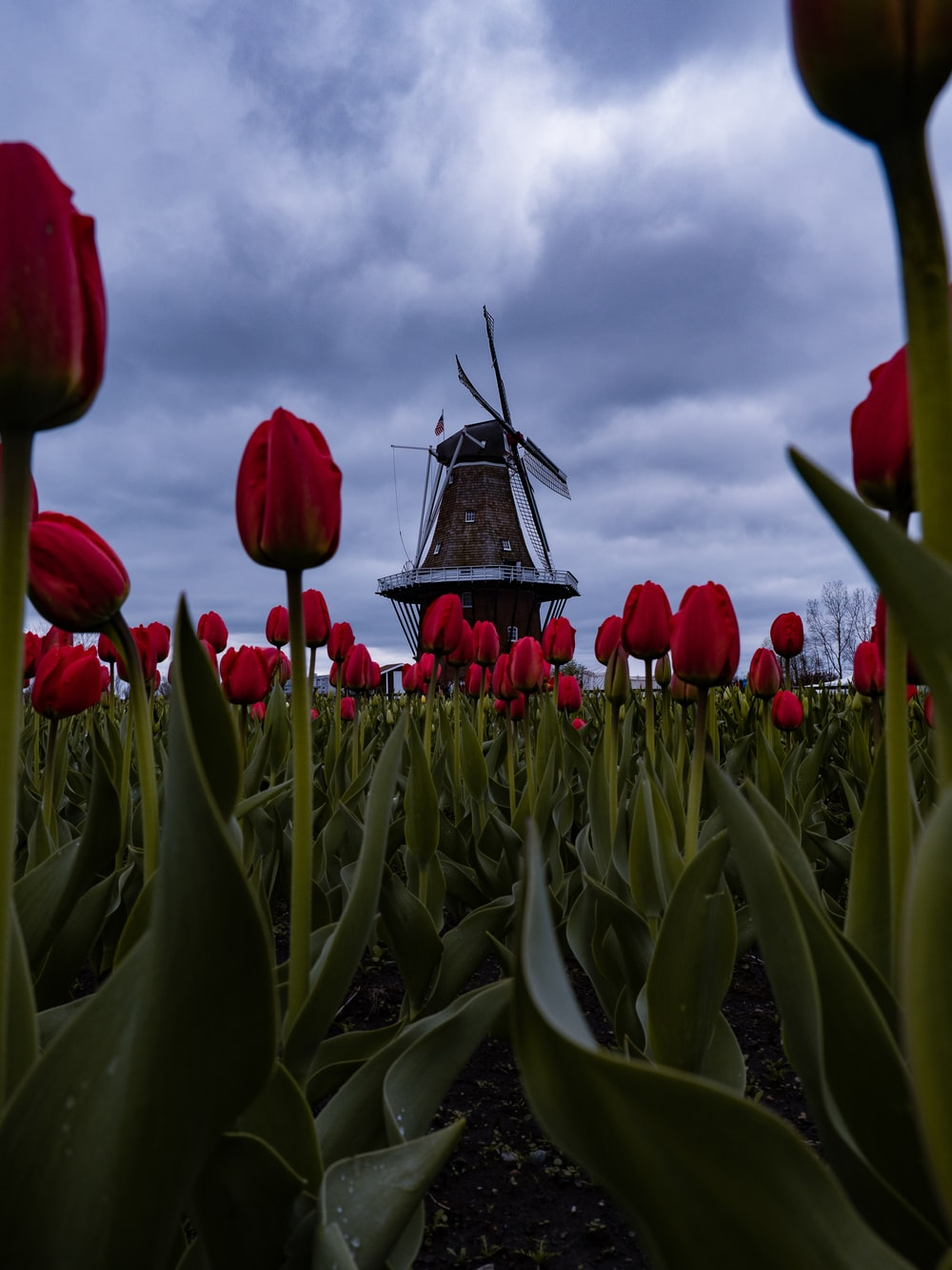 red tulips near windmill
