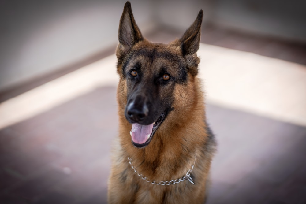 adult black and tan German Shepherd in close-up photography
