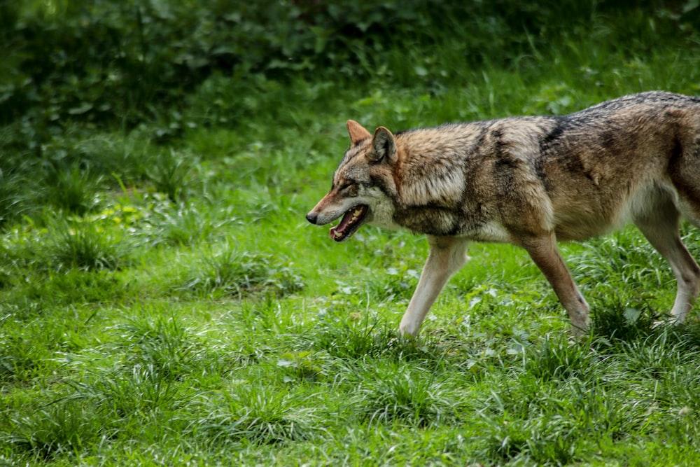 walking wolf on grass