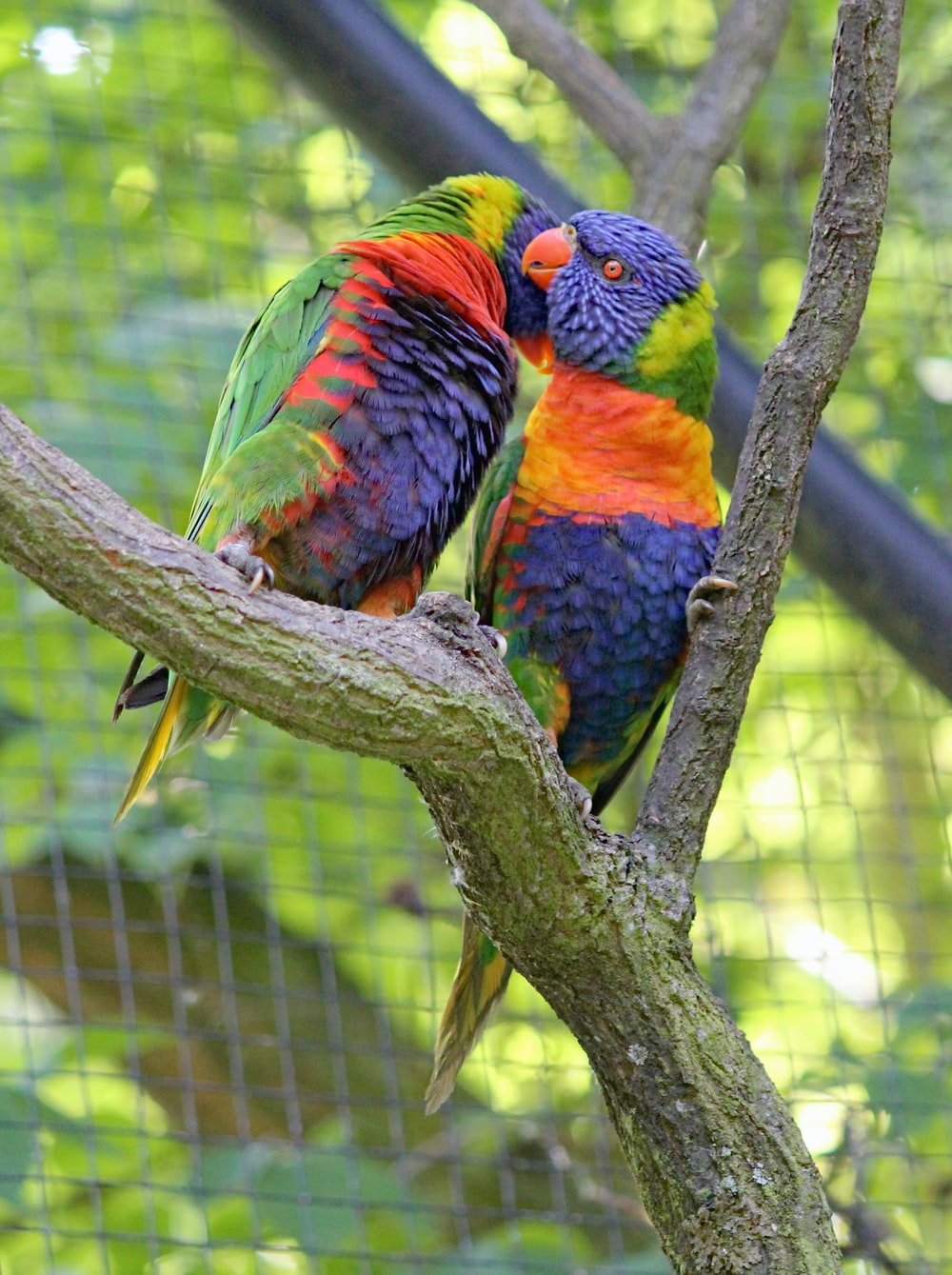 pair of blue-red-and-green birds on tree branch