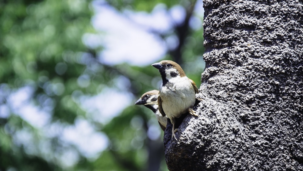 brown and grey house sparrows perching on tree trunk