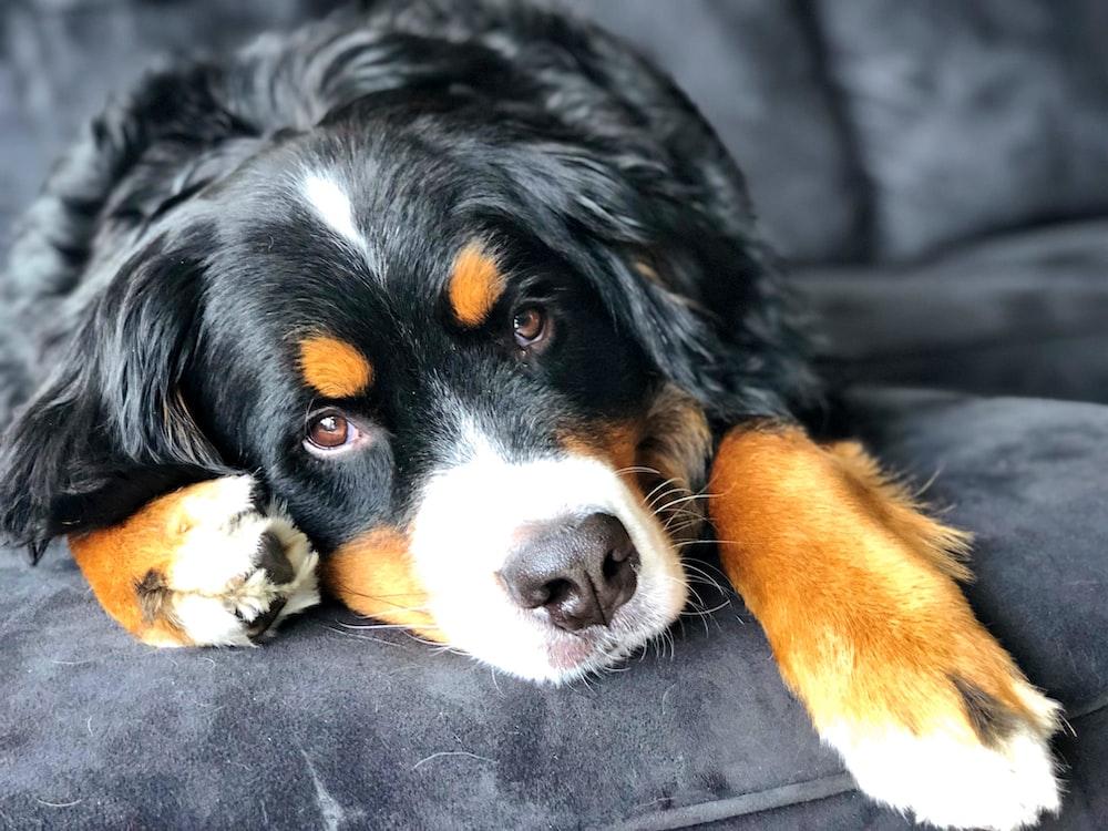 black and brown dog on sofa