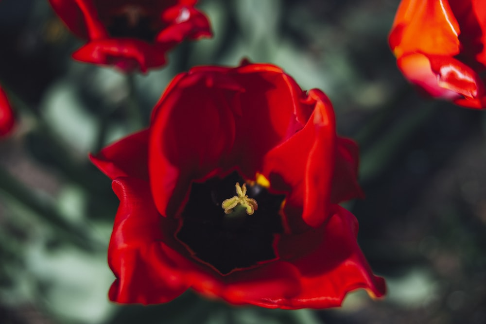 close-up photography of common poppy flower