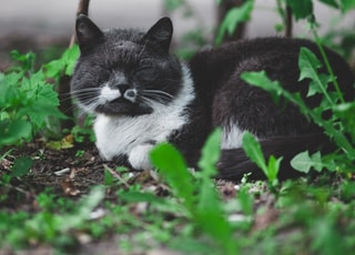short-haired gray and white cat on green grass