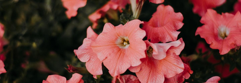 Petunia Flowers for Your Florida Spring Garden