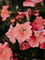 Petunia Flowers for Your Florida Spring Garden