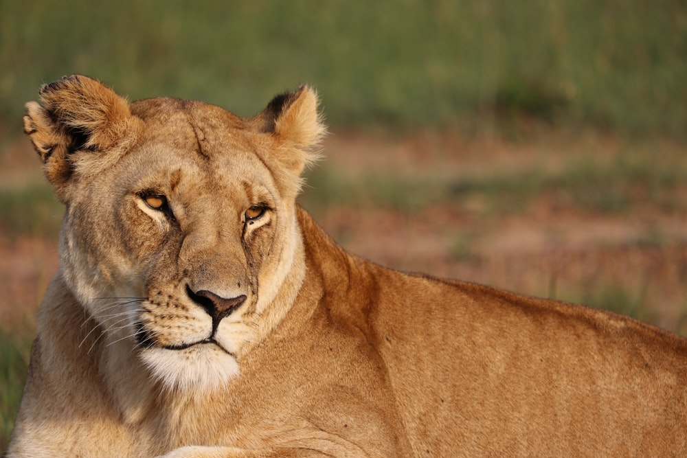 brown lioness photography