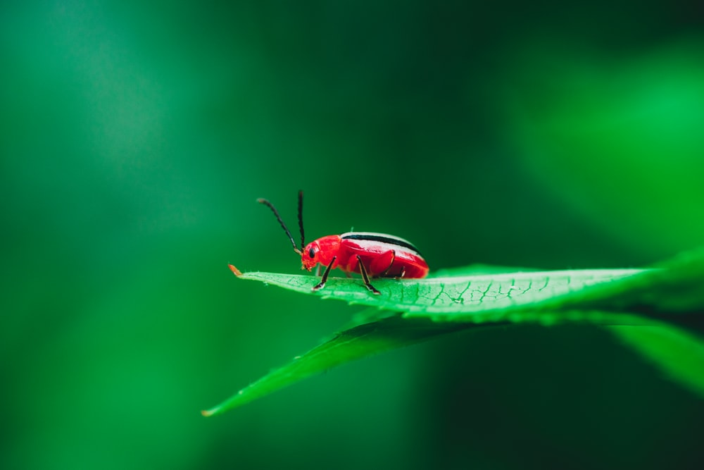 red cardinal beetle on green leaf in selective-focus photography
