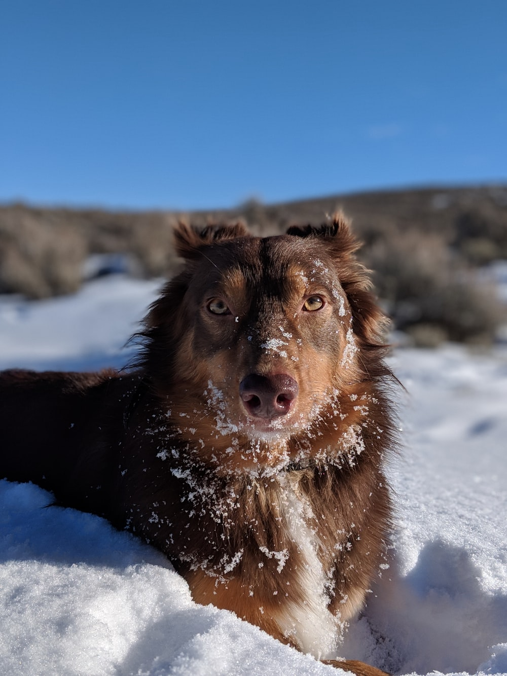 long-coated brown dog lying on snow