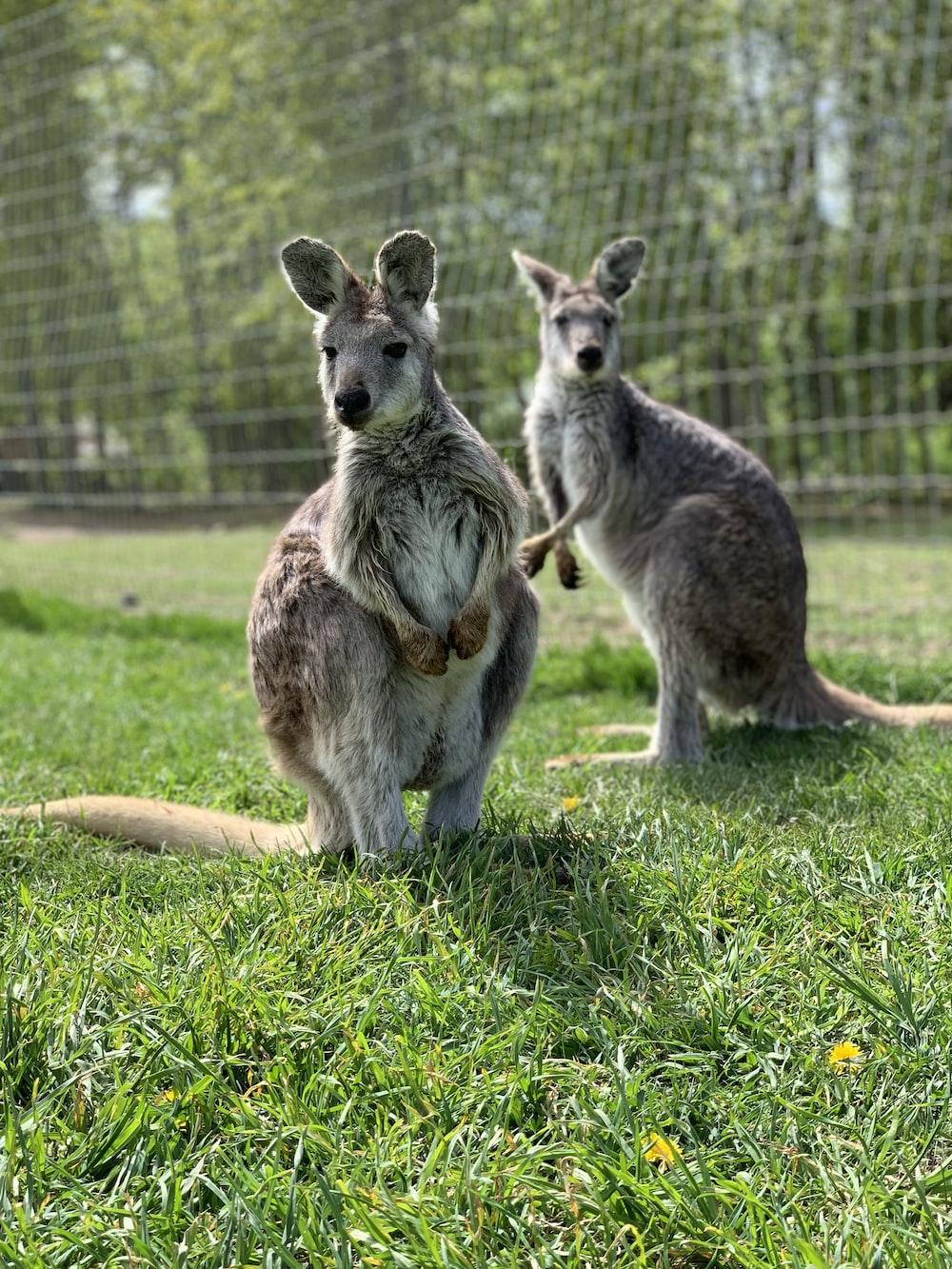 two kangaroos