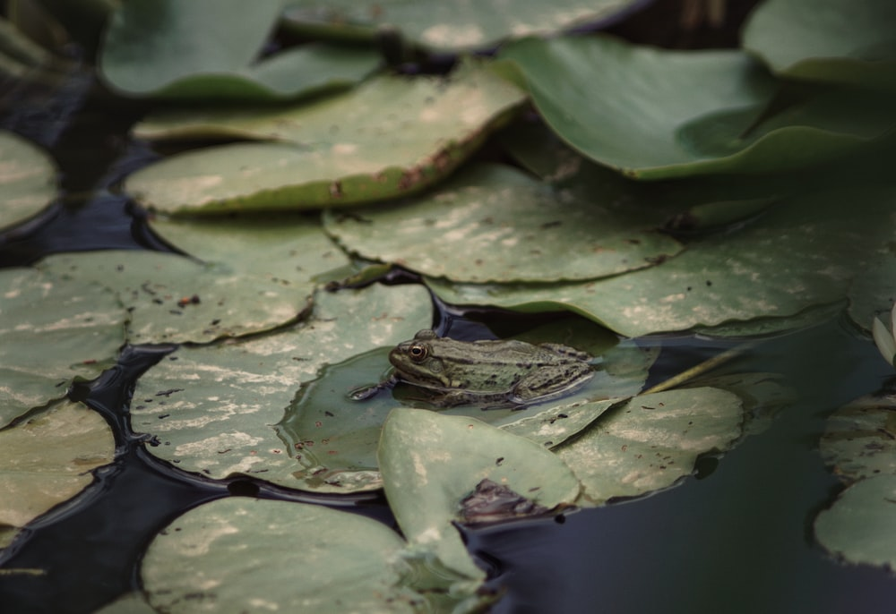 frog on waterlily