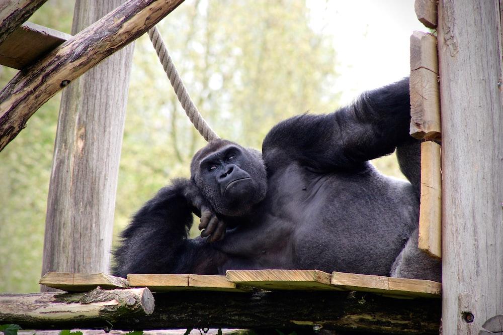 black gorilla lying on wooden surface