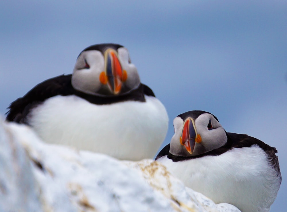 two white-and-black penguins