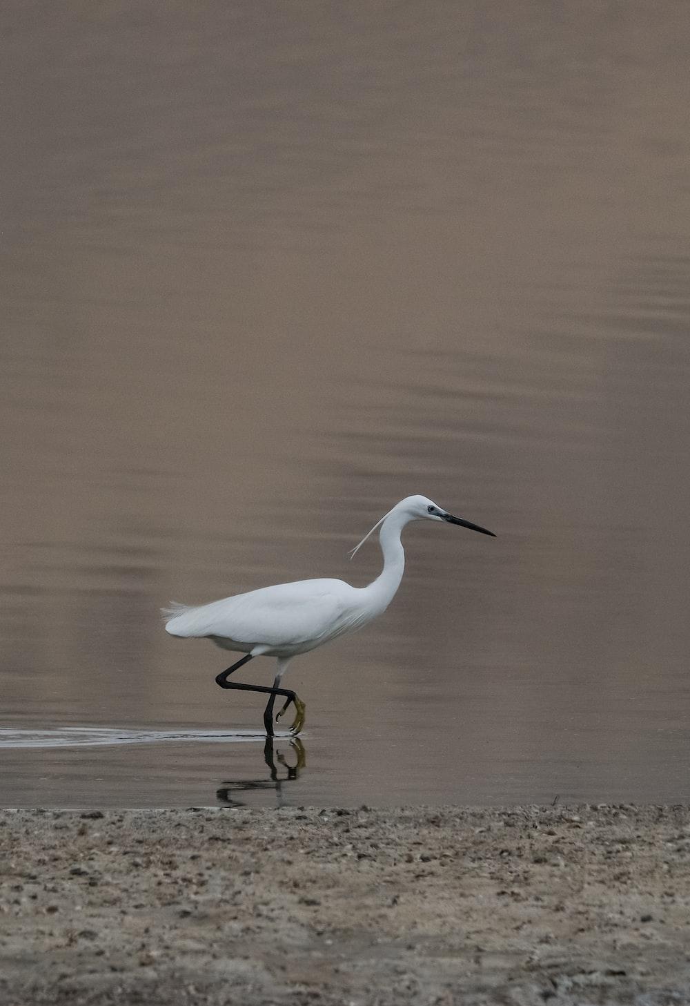 white flamingo on calm water