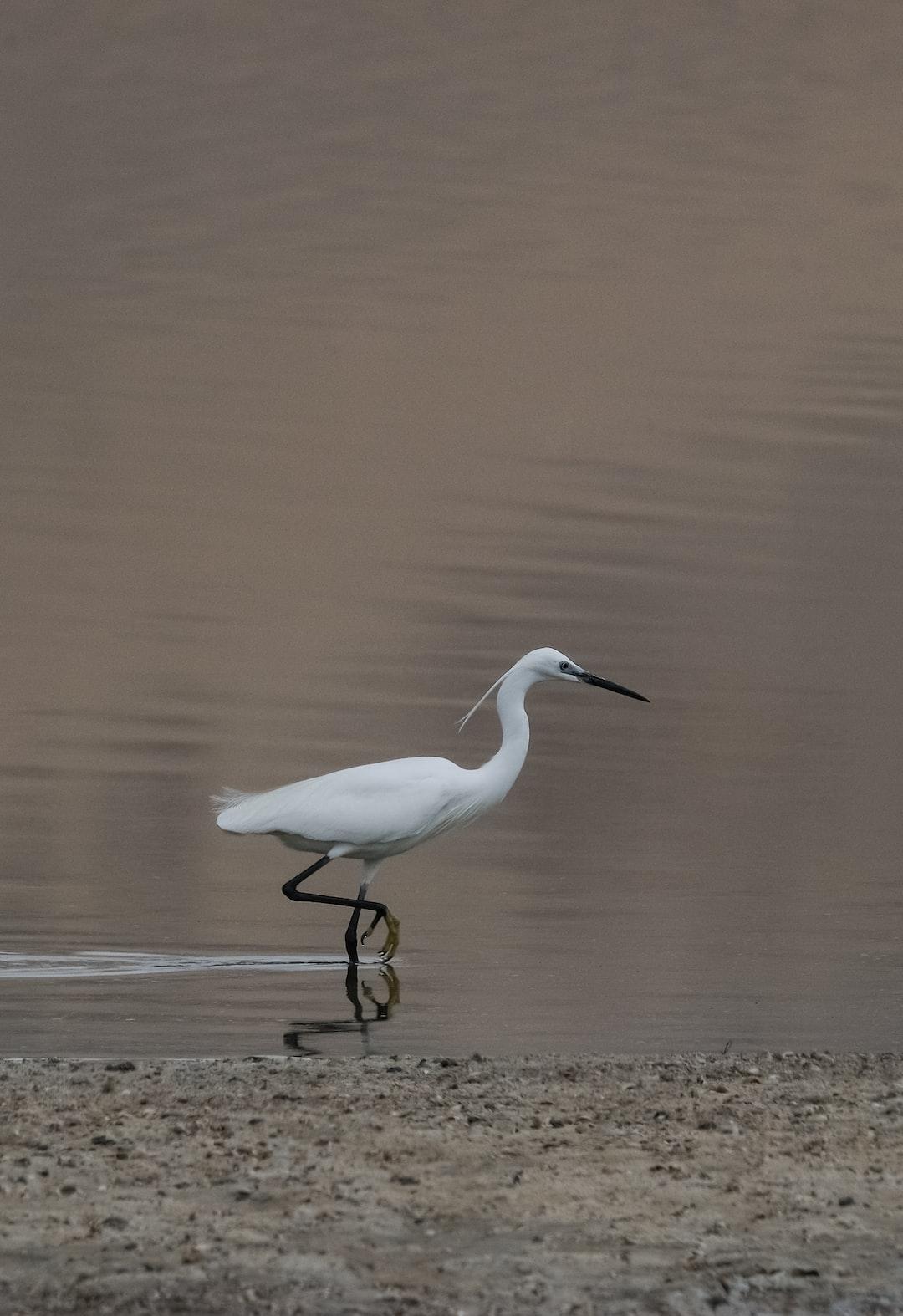 The Little Egret