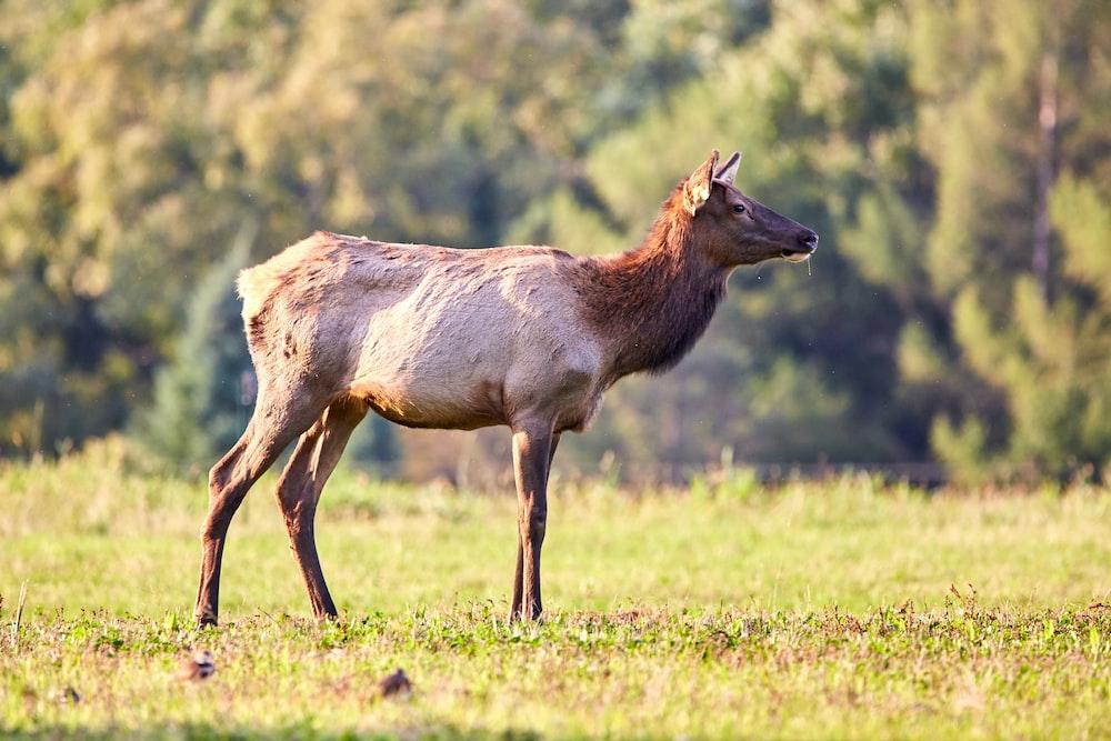 brown deer standing on grass field
