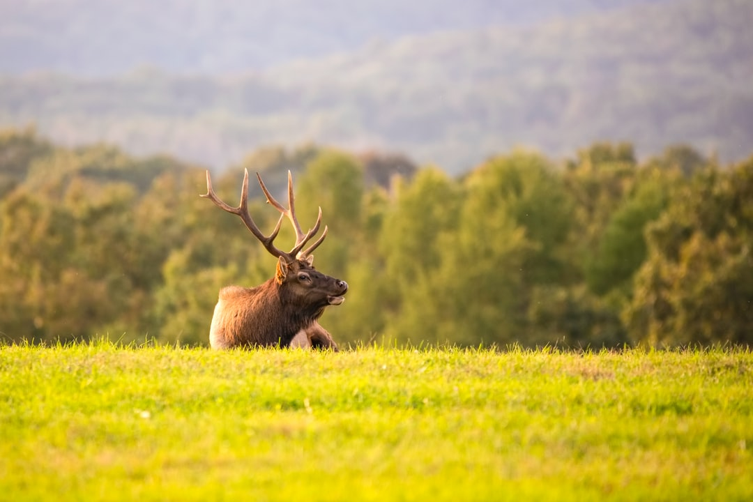 A male elk in the sunset during the rut.