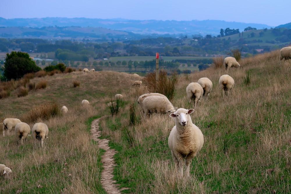 herd of sheep grazing during daytime