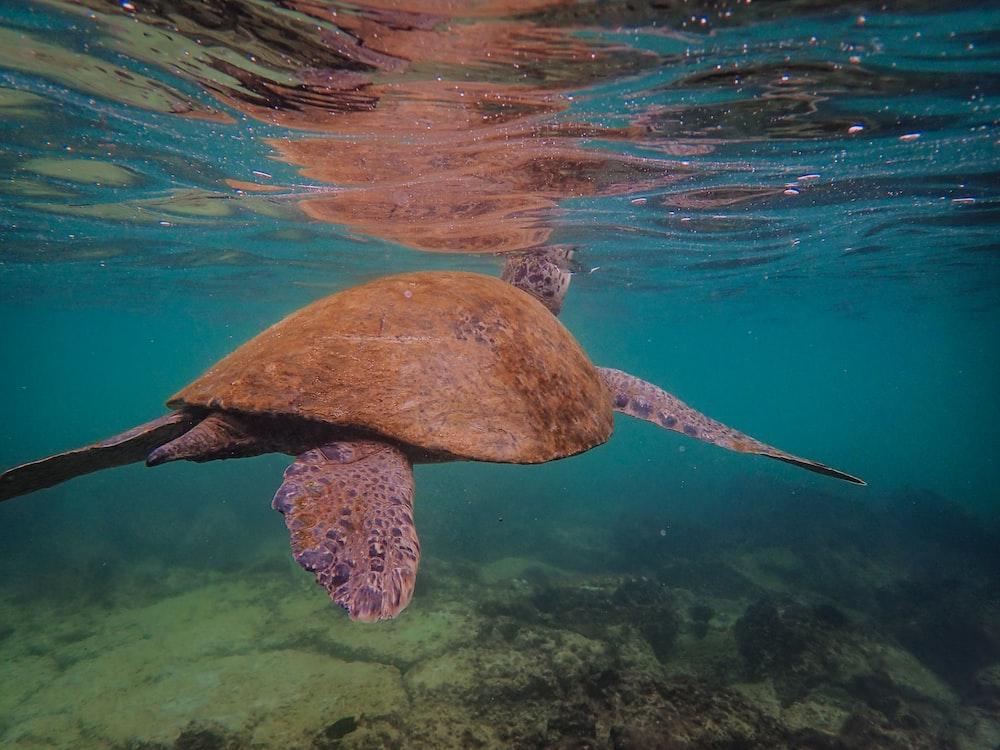 seaturtle under water